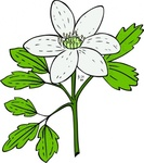 anemone,piperi,windflower,nature,plant,flower,outline,externalsource