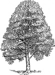 beech,tree,nature,plant,biology,botany,line art,media,clip art,externalsource,public domain,image,png,svg,wikimedia common,psf,wikimedia common,wikimedia common,wikimedia common