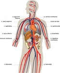 vein,medical,diagram
