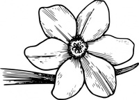 corolla,nature,plant,flower,narcissus,daffodil,biology,botany,line art,season,spring,black and white,contour,outline,media,clip art,externalsource,public domain,image,png,svg,wikimedia common,psf,wikimedia common,wikimedia common,wikimedia common