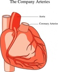 heart,medical,diagram