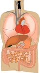 internal,organ,medical,diagram