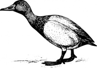 canvasback,animal,bird,duck,biology,zoology,ornitology,line art,outline