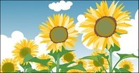 sunflower,summer,blue,white,cloud