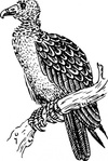 buzzard,black and white,animal,bird,biology,zoology,ornitology,line art,outline,contour