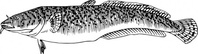 burbot,fish,animal,biology,zoology,black and white,line art,outline,contour,media,clip art,externalsource,public domain,image,png,svg,wikimedia common,psf,wikimedia common,wikimedia common,wikimedia common
