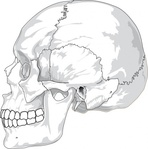 human,skull,side,view,media,clip art,externalsource,public domain,image,svg,face,skeleton,head,bone,profile