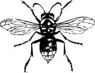 bald,faced,hornet,clip