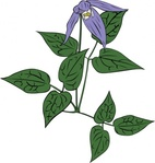 clematis,occidentalis,nature,plant,flower,wild,outline