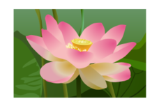 lotus,flower,plant,petal,leaf