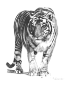 bengal,tiger,animal,forest